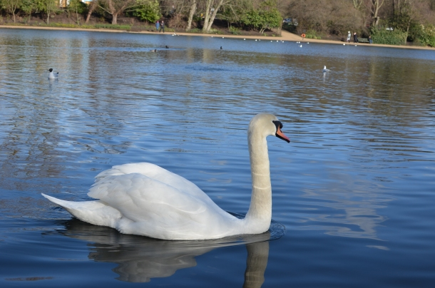 hello swan!