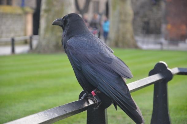 a raven!